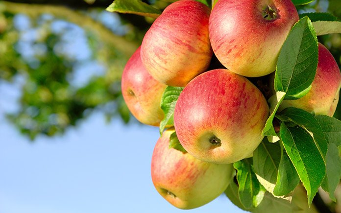 Apple tree, as seen close up