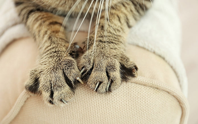 Tabby cat clawing into couch arm