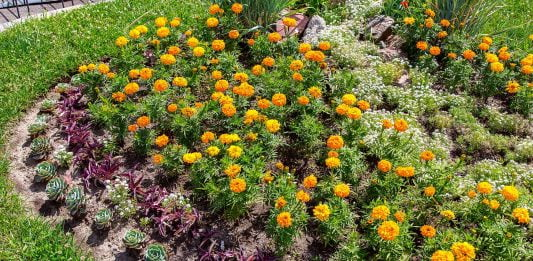 Marigolds and other eco-friendly plants in a lush green backyard