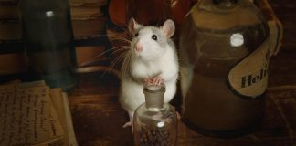 Rat rummaging through old liquor bottles and love letters in the attic