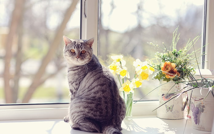 Cat sunbathing in window, sitting beside poisonous plants