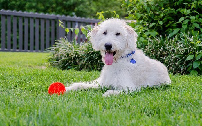 White dog playing in lush green backyard with a privacy fence