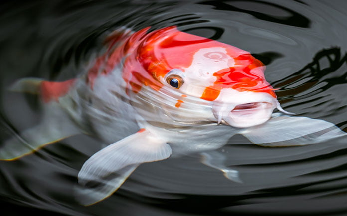 Koi fish, seen close up, in a pond