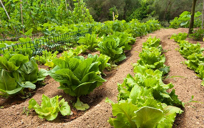 Lettuce garden in a beautiful lush green backyard