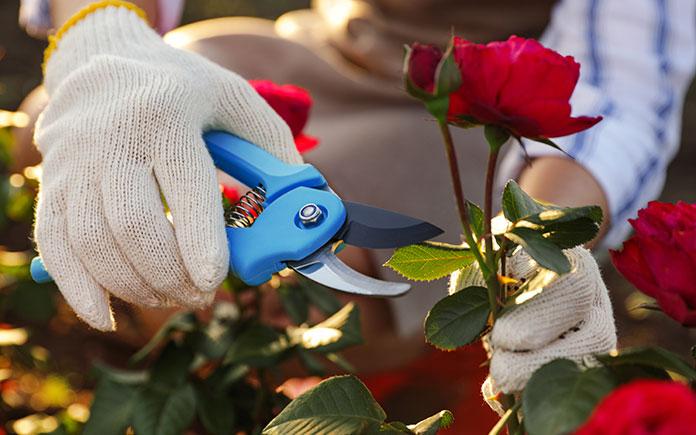 Gloved hands pruning a rosebush.