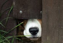 Dog peeking from under a fence